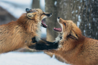 fighting foxes.jpg